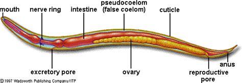 Nematode Anatomy