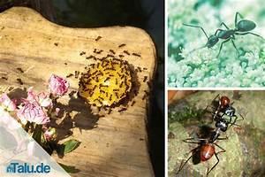Ameisen Im Rasen Wirksam Bekämpfen : ameisen vernichten hausmittel ameisen vernichten ameisen ~ Whattoseeinmadrid.com Haus und Dekorationen