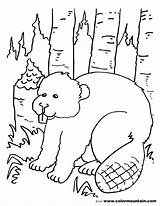 Beaver Coloring Badger Getcolorings Pages Printable Getdrawings sketch template