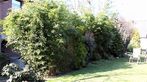 bambus bambuseae immergruener sichtschutz newwonder