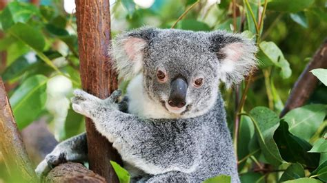 Koala death hot spots revealed on Gold Coast | Gold Coast ...
