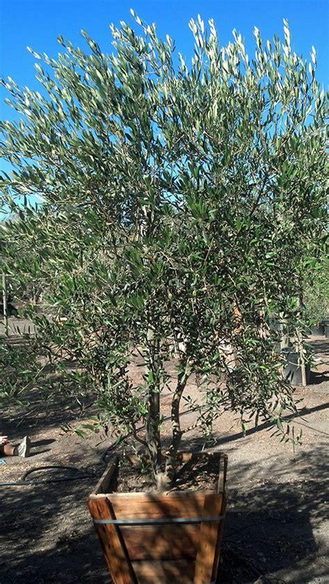 fruitless olive tree growth rate fruitless olive trees farm nursery california