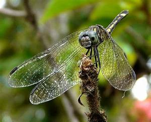 "#Dragonfly ""Angelina Jolie"" #insect 