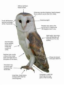 Barn Owl Facts