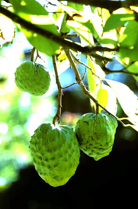 forum tropical fruit trees successfuly grown  sydney