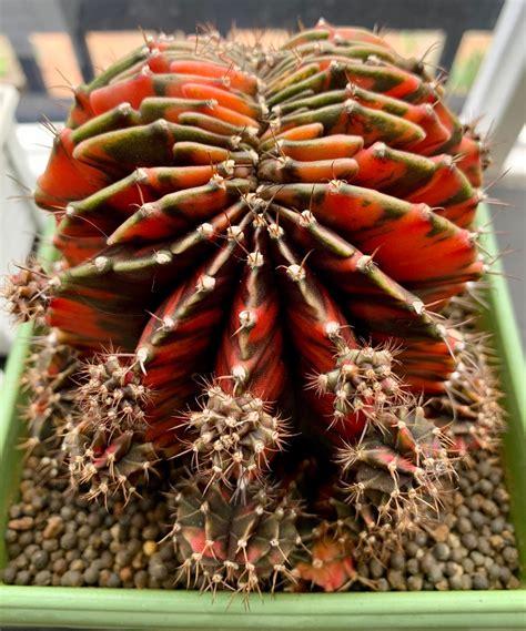 Gymnocalycium mihanovichii Cristata : cactus