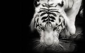 Tigre blanco fondo negro fondo de pantalla fondos de ...