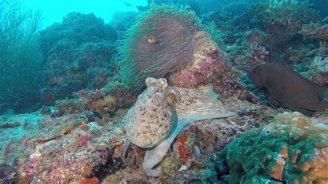 octopus hunting grouper together