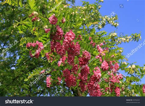 flowering deciduous trees robinia flowering deciduous tree beautiful flowers stock photo 49764241 shutterstock