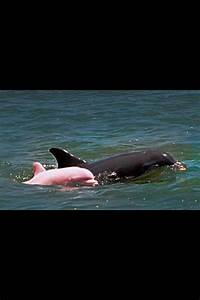 Awesome baby pink dolphin   Animals   Pinterest