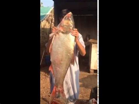 largest fish  pakistan carp roh youtube