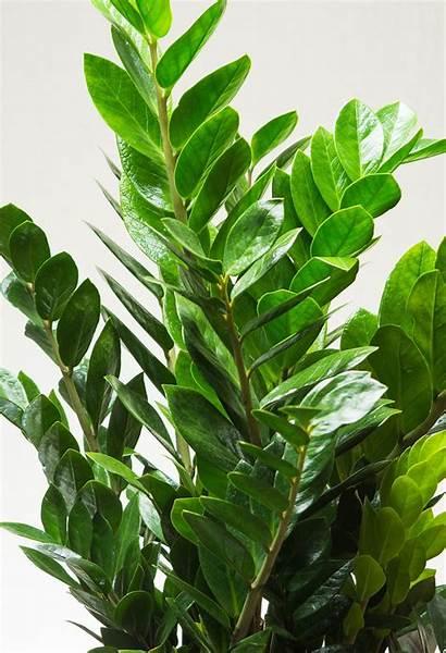 Plant Zz Beracun Tanaman Yang Indoor Zamioculcas
