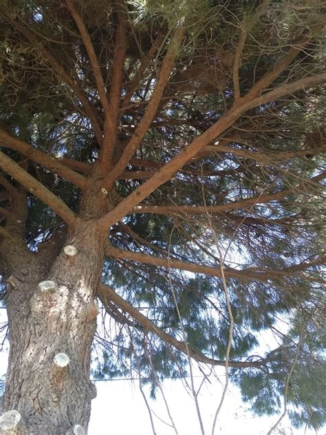 pruning   thin  pine trees branches due