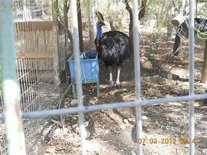 Cassowary Can Kill Humans, At Kangaroo Farm Pictures ...