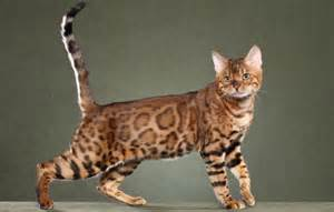 bangle cats bengal kittens for in breeder brown silver