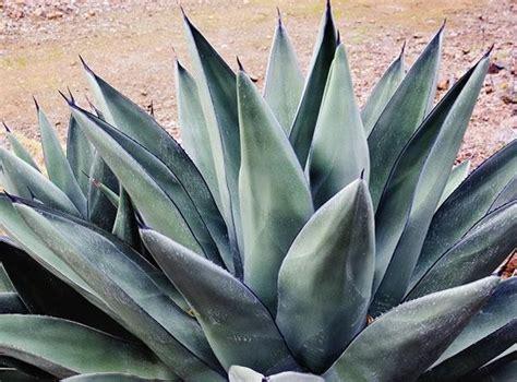 sharkskin agave garden design