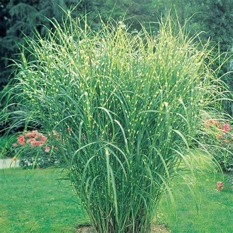 perennial grass plants zebra grass beautiful gardens pinterest