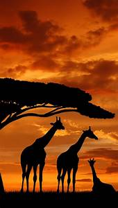 Giraffe silhouettes and sunset I could see this as a ...
