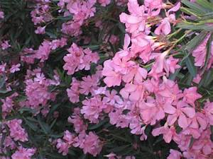Oleander Im Winter : when is the best time to prune oleanders la dolce vita california ~ Orissabook.com Haus und Dekorationen