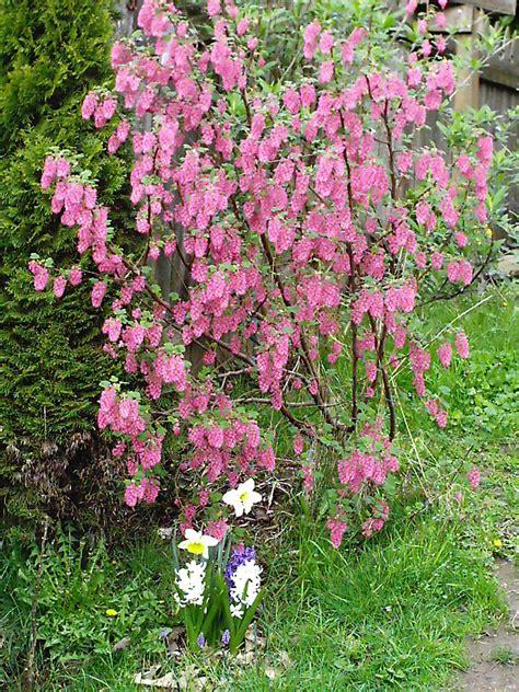 Redflowering Currant  Minerva's Garden Blog