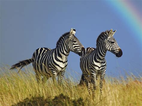 Beautiful Wallpapers zebra rare pictures collection