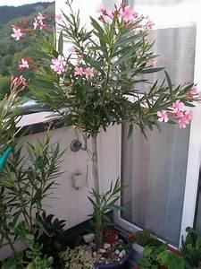 Oleander Stecklinge Wurzeln Nicht : oleander baum muss ich was daf r machen pflegen ~ Lizthompson.info Haus und Dekorationen