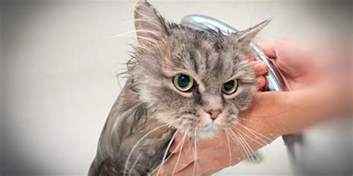 why do cats water bengal cats bengal cat breed information