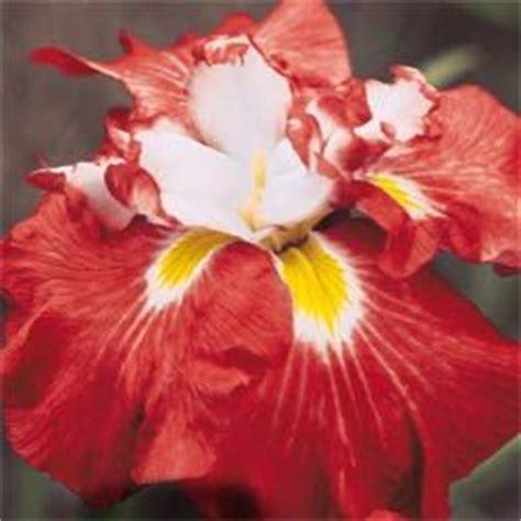 buy shogun japanese iris at michigan bulb for the home