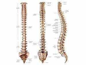 8 Best Images of Human Spine Vertebrae Bones Diagram ...
