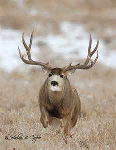 Monster Mule Deer Bucks