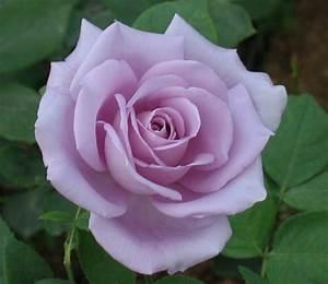 Mainzer Fastnacht Rose : mainzer fastnacht rose trandafirul mainzer fastnacht ~ Orissabook.com Haus und Dekorationen