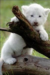 Baby White Lion Cubs