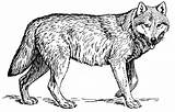 Coloring Wolf Wolves sketch template