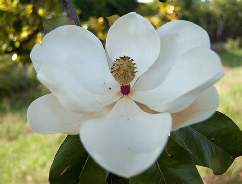 what is the state flower mississippi state flower magnolia the state flower of miss flickr
