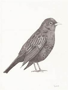 Blackbird Drawing by Nina Shilling