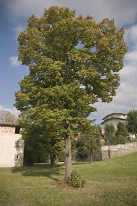 Are Poplar Trees Good Or Bad  U2013 Growing Information And