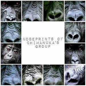 89 best images about Gorillas on Pinterest   Africa, Jane ...