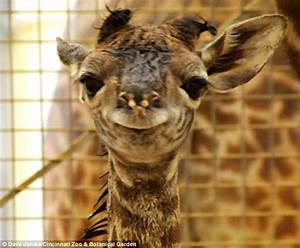 Giraffe Smile | www.pixshark.com - Images Galleries With A ...