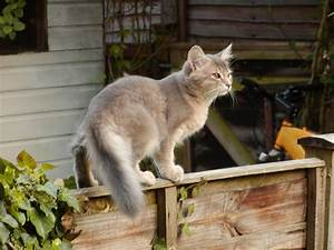 15+ Very Awesome Grey Somali Cats Photos