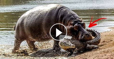 crocodile plans  attack  baby hippo   mother