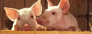 Diagram Of Swine