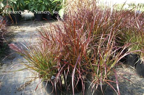pennisetum eaton monterey bay nursery plants p
