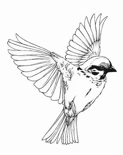 Bird Drawing Song Cardinal Illustration Birds Flying