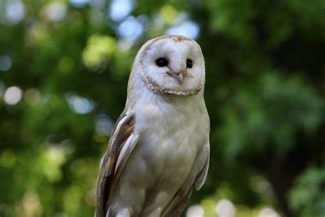 Owls' Ears Are Always In Tip-top Shape Because They're