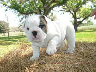 cute puppy dogs cute english bulldog puppies