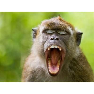 Crab-Eating MacaqueAnimal Wildlife