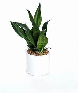 Live, Robusta, Snake, Plant, In, Ceramic, Pot, 5, U0026quot