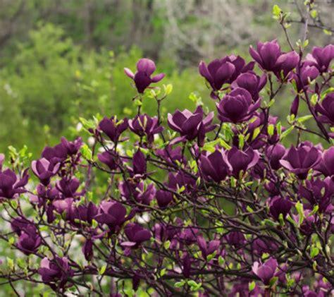 purple magnolia trees cottage farms fragrant deep purple genie magnolia qvc com