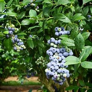 Heidelbeeren Pflanzen Balkon : erntezeit von heidelbeeren wann sind sie reif ~ Lizthompson.info Haus und Dekorationen