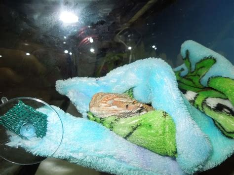 Bearded Bedding by 17 Best Images About Bearded Dragons